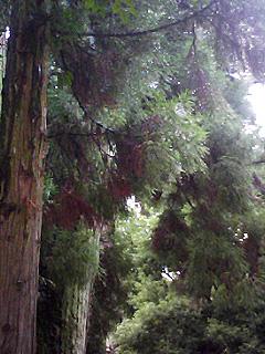 巳杉.jpg